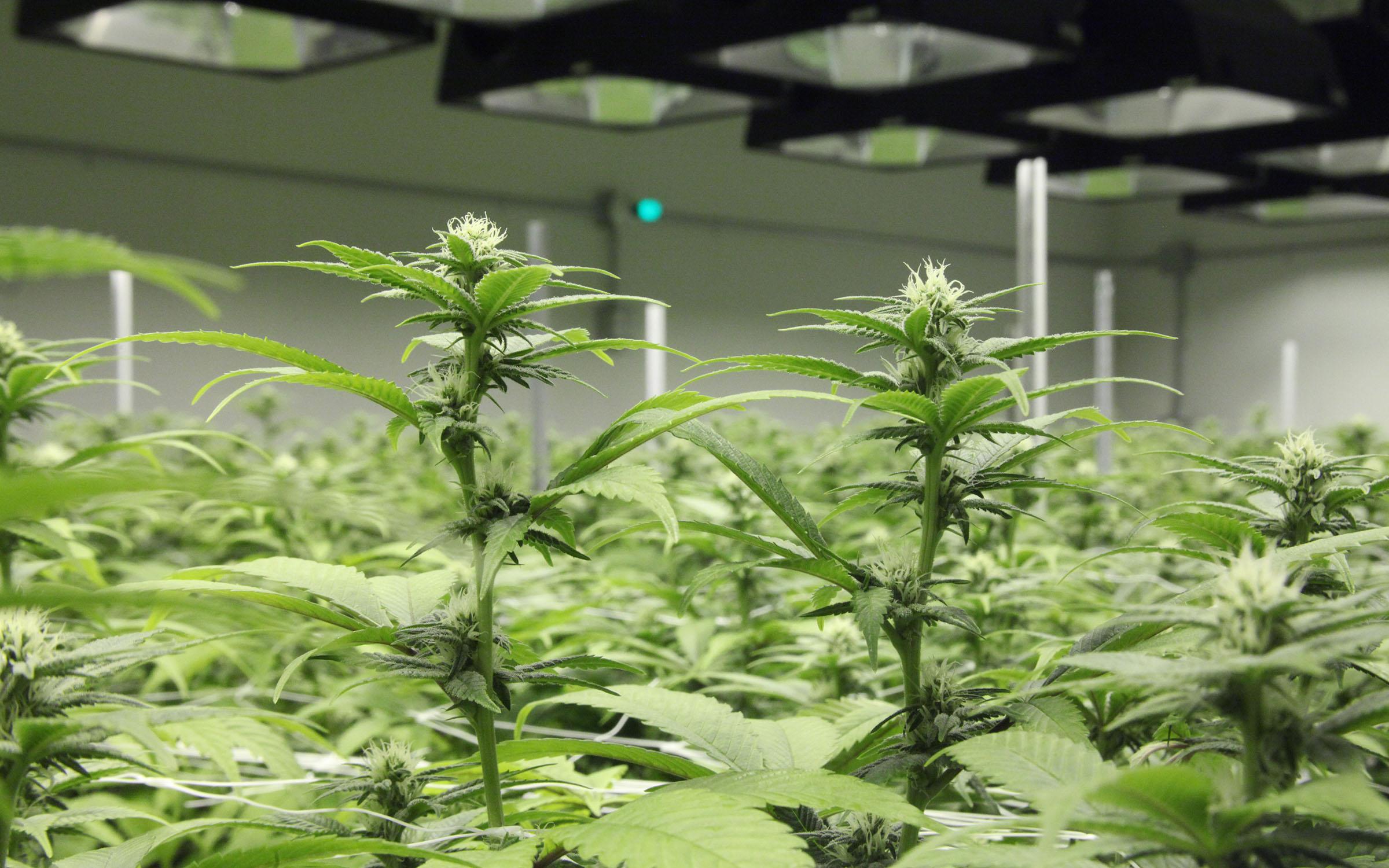 Для конопли надо что цветение для открытого грунта семена марихуаны