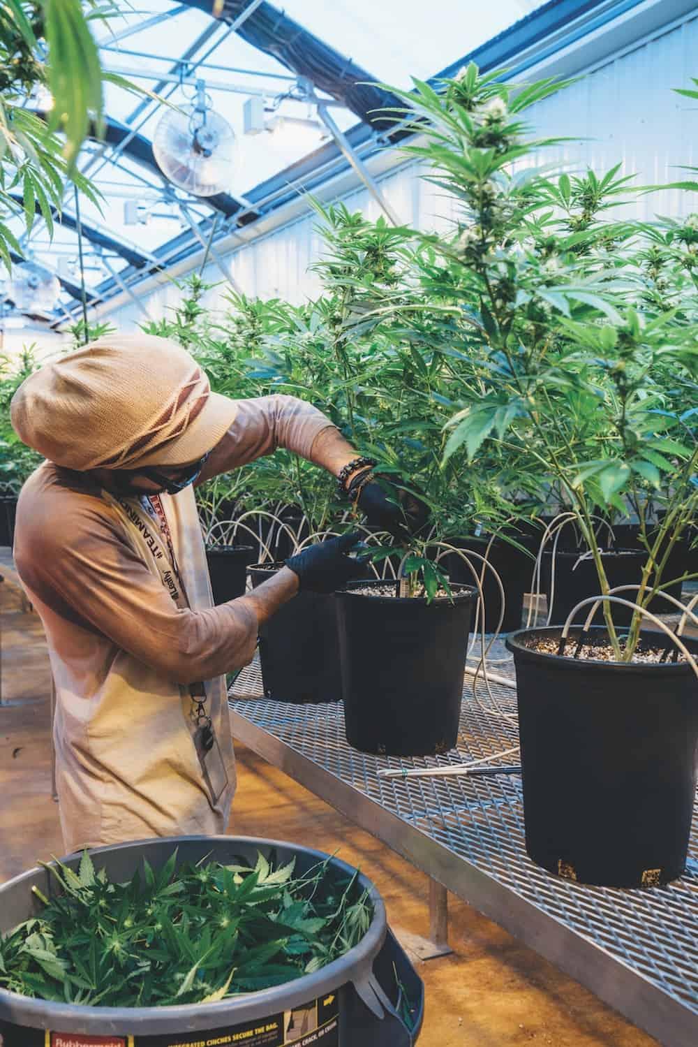 Growing Legal in Hawaii