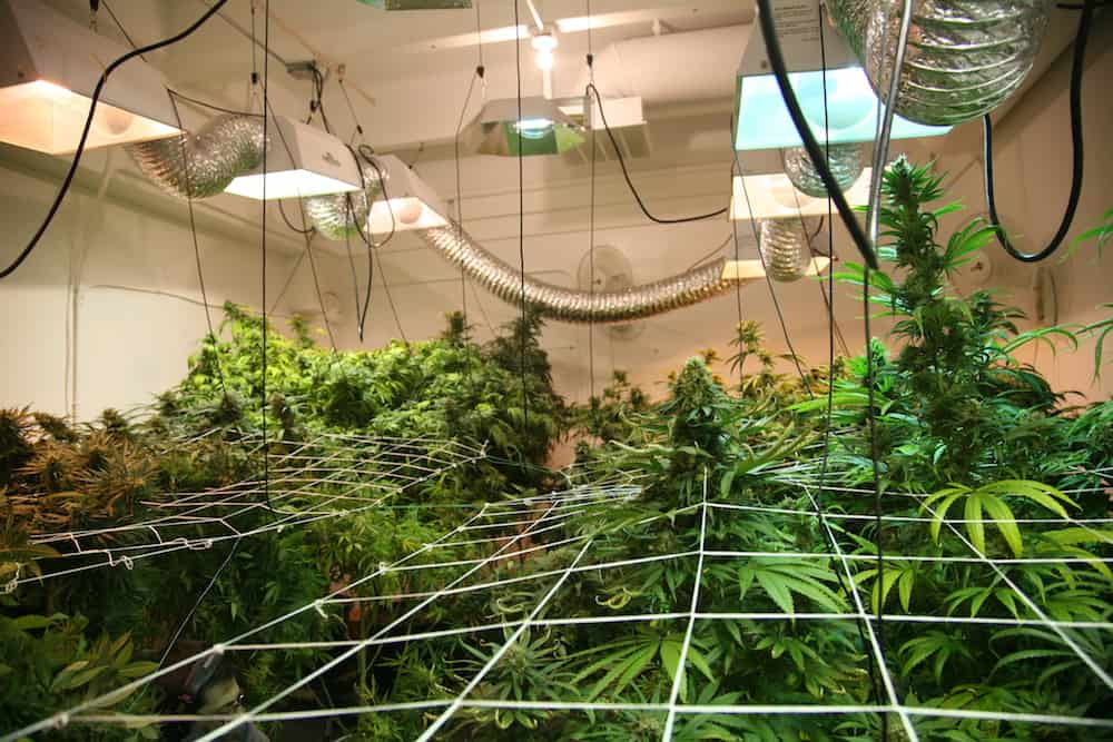 Troubleshooting for Beginner Pot Growers